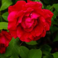 Miniature rose