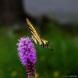Swallowtail butterfly in the yard