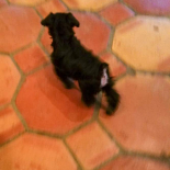 Puppy Karma running around