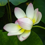 Eventually the blossom bows