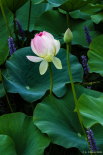 The showy season in the life of a lotus blossom