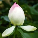 The petals start to open