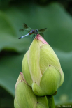 Buds serving as a pad for dragonflies
