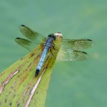 A dragonfly on a different pad