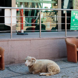 Halil the escaped sacrificial ram chilling out!