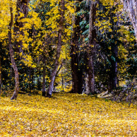 Yellow fall on Mt. Nebo (multiple image stack to capture the falling leaves)