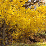 Yellow fall on Mt. Nebo