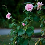 Vine and Roses