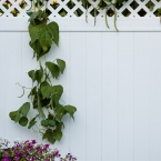 Vine on White Fence