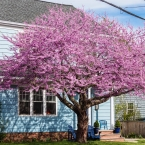 Redbud Tree on neighbor's lawn