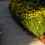 The sea of coreopsis