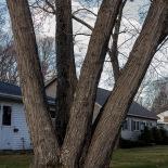 Penta-tree on N. Country Club Dr.