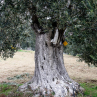 Olive trees have character