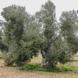 You can see the olives on the branches