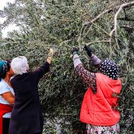Jan harvesting olives