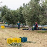 Harvest at Melin Olive Grove