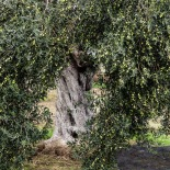 Trees were loaded with olive