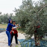 Elif harvesting olives