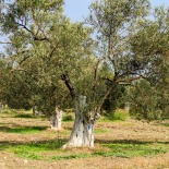 Overview of Melin Olive Grove