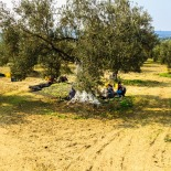 Workers picking the fallen olives
