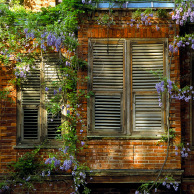 Wisteria on old house, Kuzguncuk, Istanbul