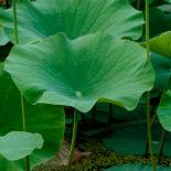 Field of lotus