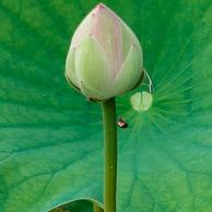 Lotus leaves and bud