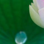 Lotus leaf, bud, and water drop