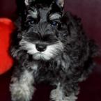 Puppy Pasha