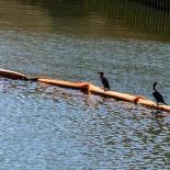 Cormorants drying