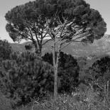 Umbrella Pine, Kozak (Matte)