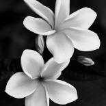 Plumeria (Matte)