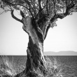 Olive Tree on the Aegean Shore #1 (2007) (Matte)