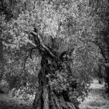 Olive Tree Under the Sun #15 (2012) (Matte)