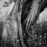 Olive Tree Trunk With Dried Grass #9 (2012) (Matte)