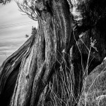 Olive Tree Trunk With Dried Grass #10 (2012) (Matte)