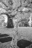 The Sycamore tree branch
