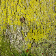 Yellow Moss on a Tree Trunk