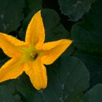 Pumpkin flower in Elif's yard