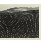 Edward Weston - Tomato Field