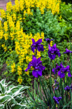 Loosestrife and Siberian Irises