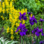 Loosestrife and Siberian Irises