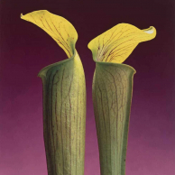 Robert Mapplethorpe - Double Jack-In-The-Pulpit