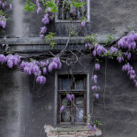 Wisteria on old wall