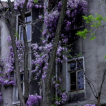 Chimney soot on wisteria