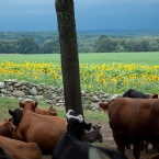 Cows were laying down, indication of bad weather