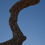 A local pine tree
