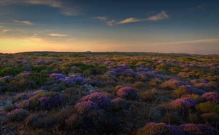 Wild thyme fields of Tenedos
