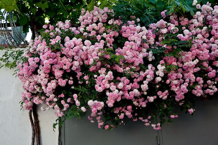 Ayvalik Flowers