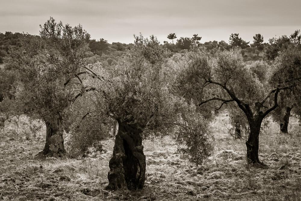 Olive Trees of Ayvalik